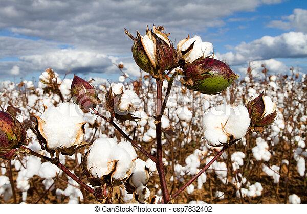 Cotton Bolls Field - csp7832402
