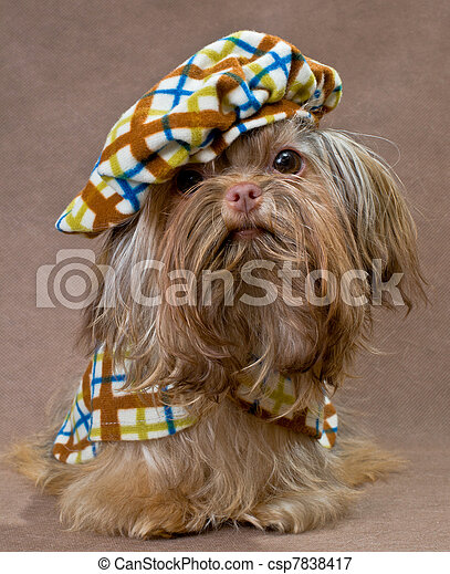 Russian color lap dog in studio in the dress - csp7838417