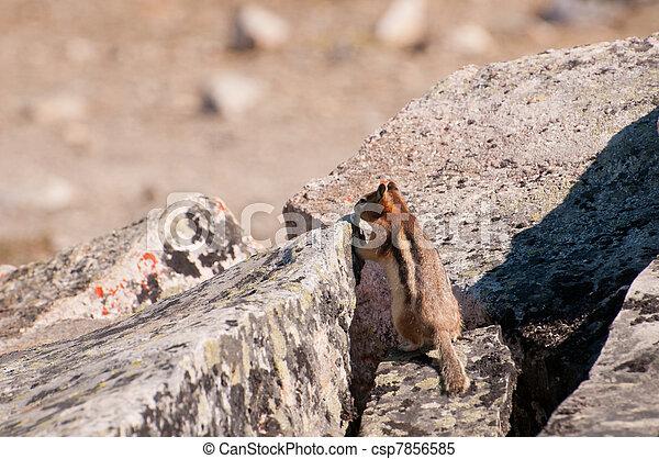 Cautious chipmunk - csp7856585