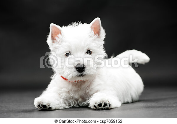 West Highland White Terrier - csp7859152