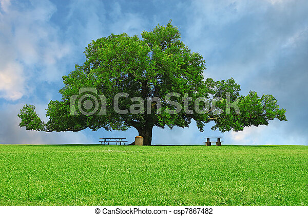 A large oak tree in a grass field in a park used as a shade tree for picnic tables on a gorgeous summer day with room for your text. - csp7867482