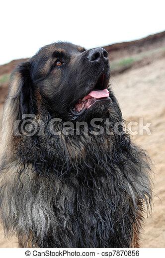 Stock Image of Portrait of huge leonberger on the river bank ...