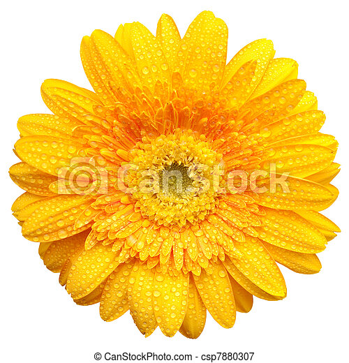 Yellow gerbera with water drops isolated