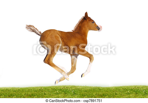purebred arab filly isolated - csp7891751