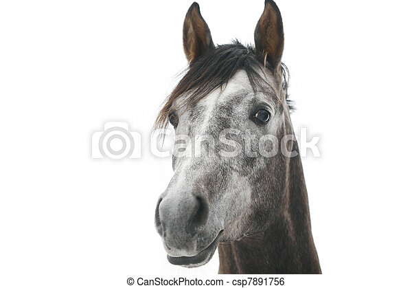 gray arabian horse isolated on white - csp7891756