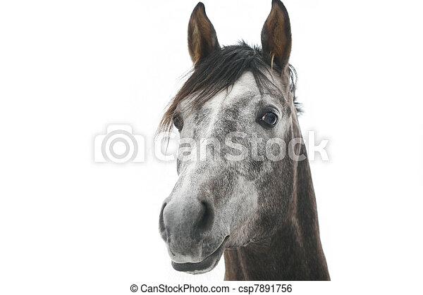 gray arabian horse isolated on white - csp7891756
