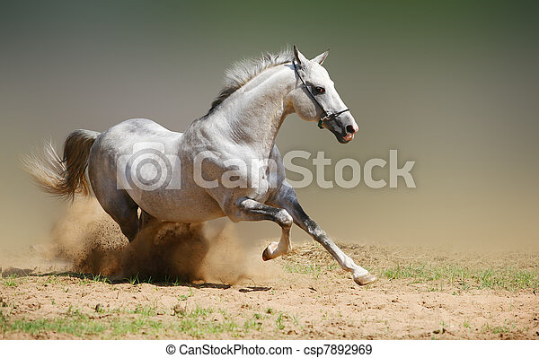 silver-white stallion in dust - csp7892969