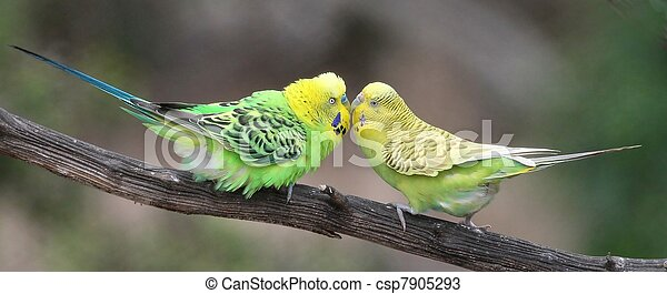 Cute Budgie Pair - csp7905293