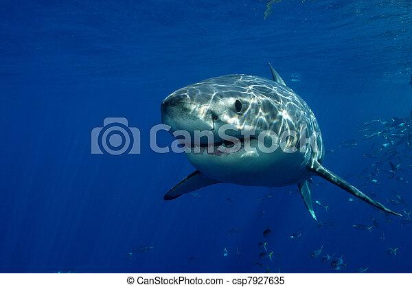 Great White Shark - csp7927635