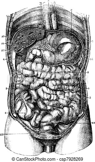 1. Esophagus. 2. Stomach. 3. Orifice pyloric stomach. 4. Duodenum. 5. Small intestine. 6. Caecum. 7. Ascending colon. 8. Transverse Colon. 9. Descending colon. 10. Rectum. 11. The liver. 12. Gall blad - csp7928269