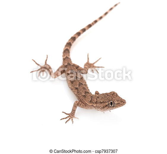 brown spotted gecko reptile isolated on white, view from above  - csp7937307