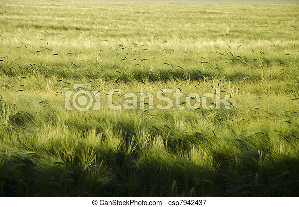 wheat field - csp7942437