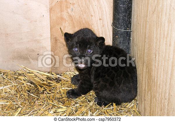 Photo b b noir jaguar image images photo libre de droits photos sous licence - Bebe du jaguar ...