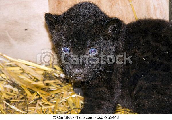 Photos de b b noir jaguar noir jaguar panthera onca csp7952443 recherchez des images - Bebe du jaguar ...