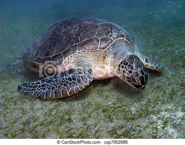 sea turtle feeding underwater - csp7952686