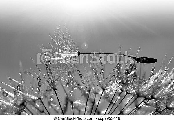 dewy dandelion - csp7953416