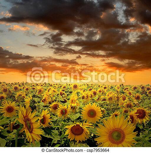 Feld, Sonnenblume - csp7953664