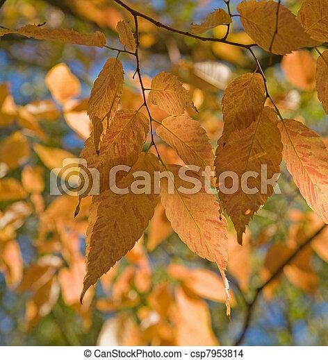 Zelkova serrata (Keyaki) autumn foliage - csp7953814
