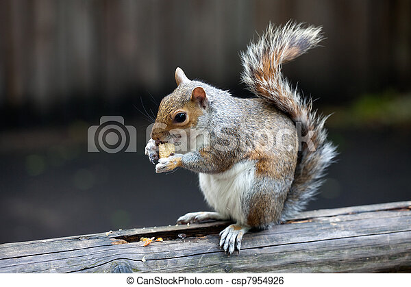The grey squirrel in one of London parks - csp7954926