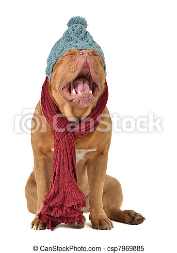 Ridiculous dog with winter clothing - csp7969885