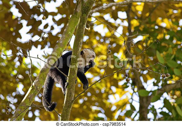 White faced Capuchin - csp7983514