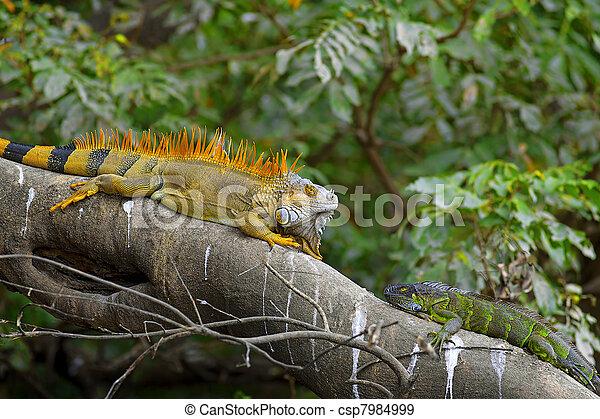 Green Iguana mating game - csp7984999