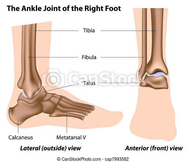 The ankle joint,  - csp7993582