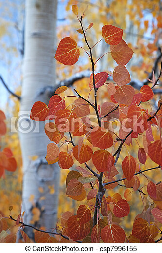 Red Aspen Leaves - csp7996155