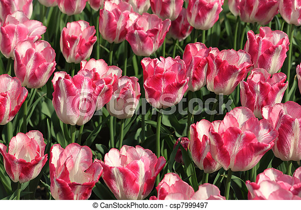 closeup of flowerbed with bright beautiful pink and white tulips - csp7999497