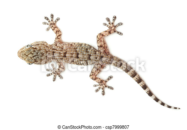 brown spotted gecko reptile isolated on white, view from above - csp7999807
