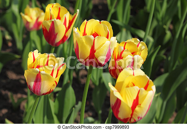 closeup of flowerbed with bright beautiful yellow tulips, World Expression sort - csp7999893