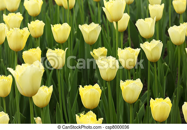 closeup of flowerbed with bright beautiful yellow tulips - csp8000036