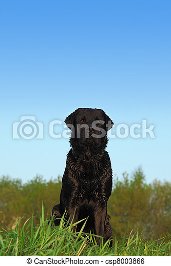 black Labrador Retriever Dog with dark short hair sits on a meadow with green grass, behind  trees and blue sky - csp8003866
