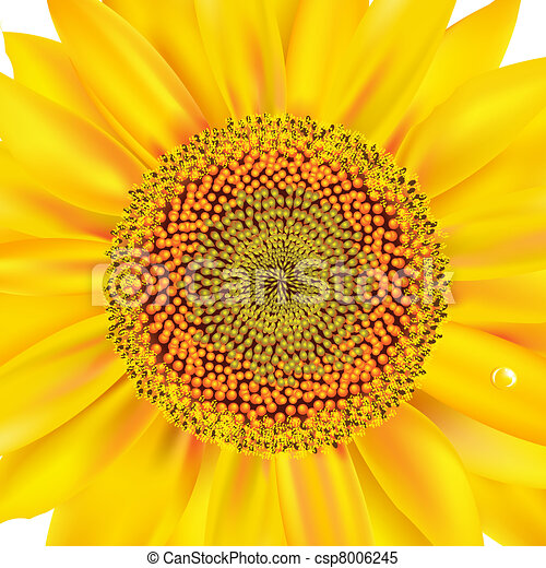 Sunflower Closeup - csp8006245