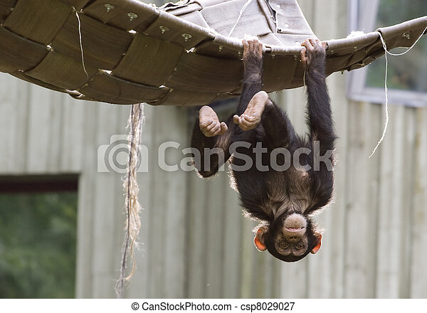 Monkey Hanging Upside Down From Tree Hanging Upside Down