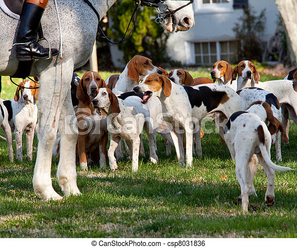 American Foxhounds before a hunt - csp8031836