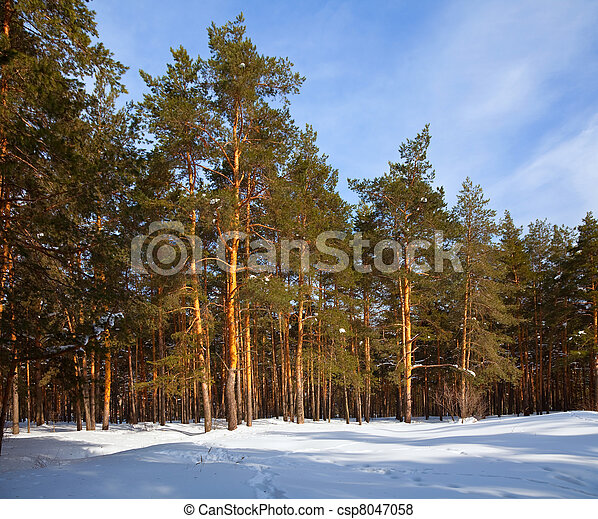 Winter lanscape with pine forest - csp8047058