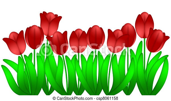 Row of Red Tulips Flowers Isolated on White Background - csp8061158