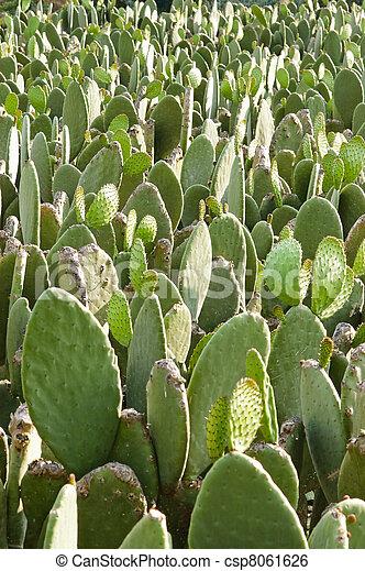 Prickly pear (opuntia) cactus nopal - csp8061626