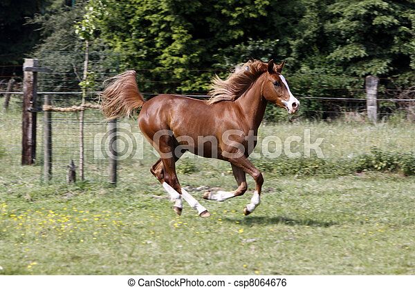 Galloping Arabian stallion in a pasture - csp8064676
