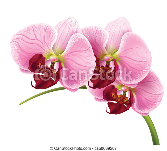 orchid flower branch vector isolated background - csp8069287