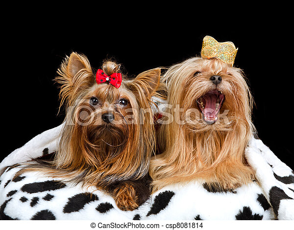 Two royal dogs with crown and gown - csp8081814