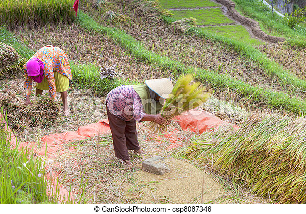 East Asian Rice Field - csp8087346