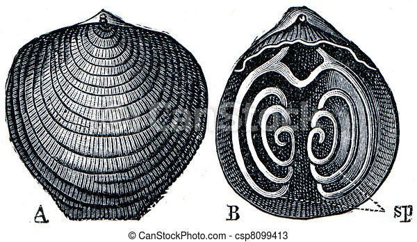 Cambrian and Silurian systems fossil organisms - Brachiopod Atypa reticularis shell and handheld apparatus - encyclopedia  Education, Russia, 1896 - csp8099413
