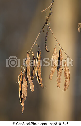 dried acacia seeds - csp8101648