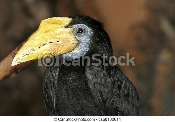 Silvery-cheeked Hornbill - csp8102614