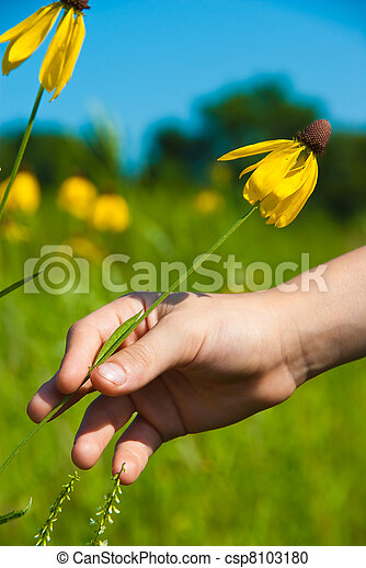 Child reaches for a Yellow coneflower - csp8103180