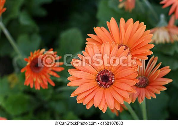 Herbera daisy - csp8107888