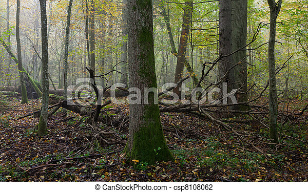 Old trees in natural stand of Bialowieza Forest - csp8108062