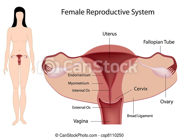 Female Reproductive System, eps8 - csp8110250